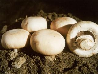 幸运的蘑菇:美国放行基因编辑蘑菇和玉米 不含任何外源DNA