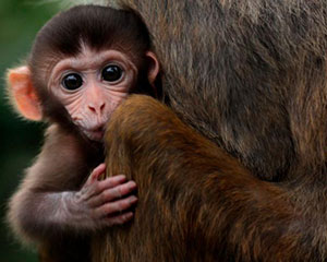 Chinese scientists defend implanting human gene into monkeys' brains