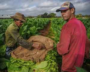 中国需求成长强劲 古巴雪茄销售创纪录