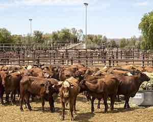 烟台口岸入境3941头澳大利亚种牛