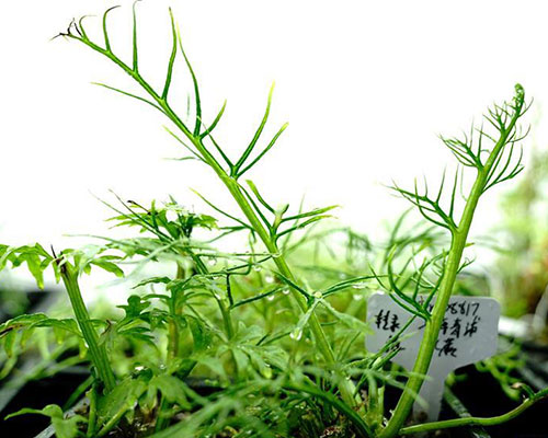 Wild plant under state second-level protection found in Shanghai