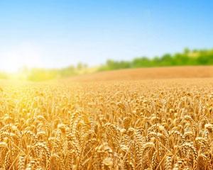 黑龙江省黑河口岸首次进口俄罗斯春小麦
